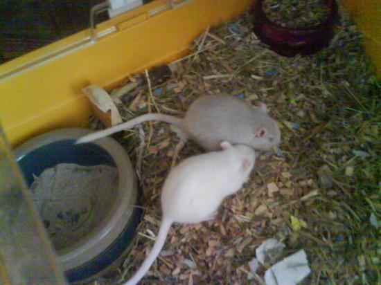 Princesse & Luna, mes 2 nouvelles gerbilles