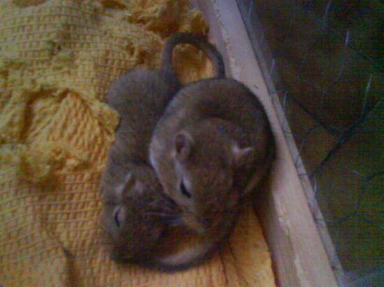 Rouky & Speedy, mes adorables gerbilles